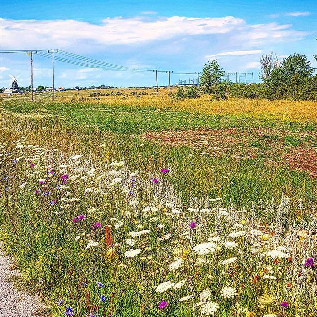 Öland blommor längs vägkanten igsweden ig_lebanon öbilden rebel_scapes... (Sandviks Kvarn)