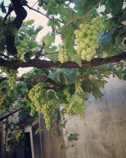 🍇🍇🍇 lebanon zeitoun beirut moutains grape vine wine natural ... (Zeitoun)