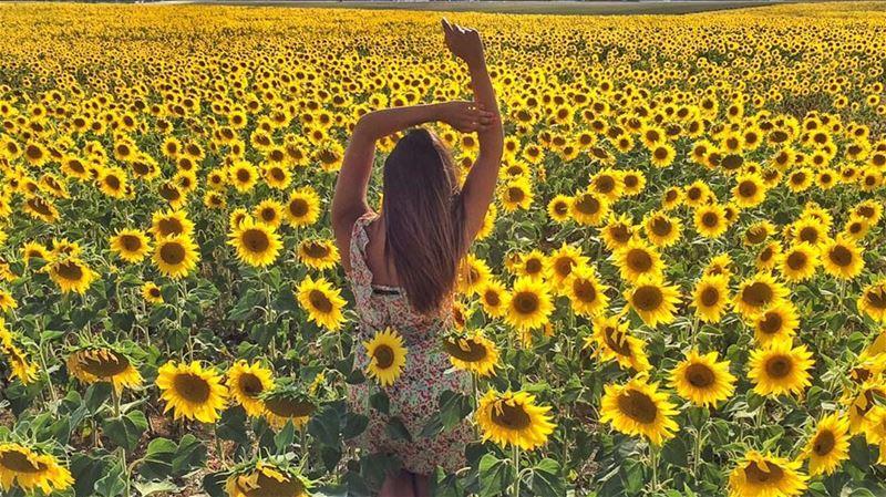 Sun-flower kissed.. ........... valensole plateaudevalensole ... (Plateau De Valensole)