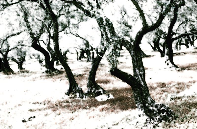 Aged olive trees of lebanon. immortal trees black sleepyhollow gothic... (Joûn, Liban-Sud, Lebanon)
