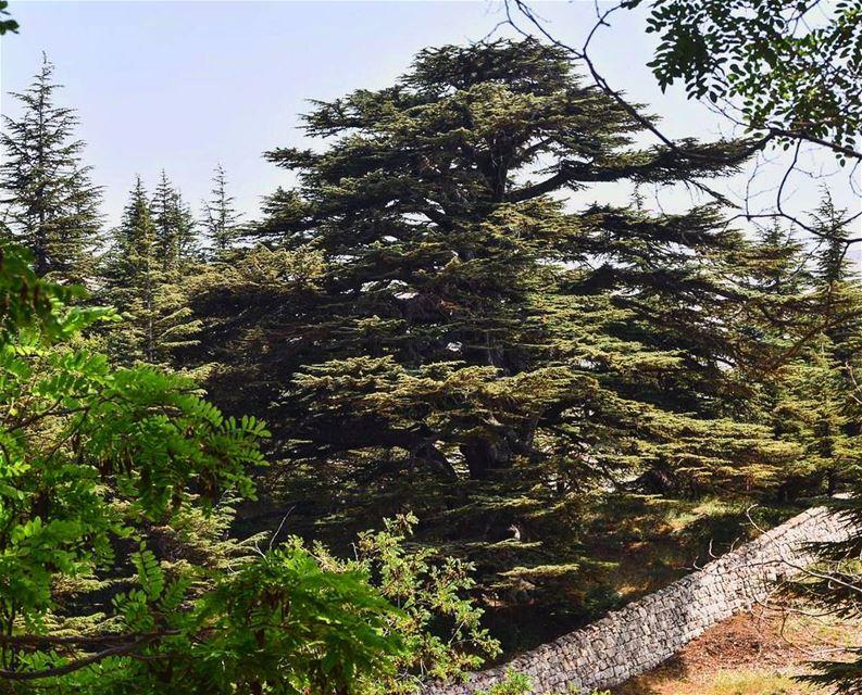 عالي يا أرز لبنان ig_lebanon livelovelebanon lebanon insta_lebanon ... (Cedars of God)