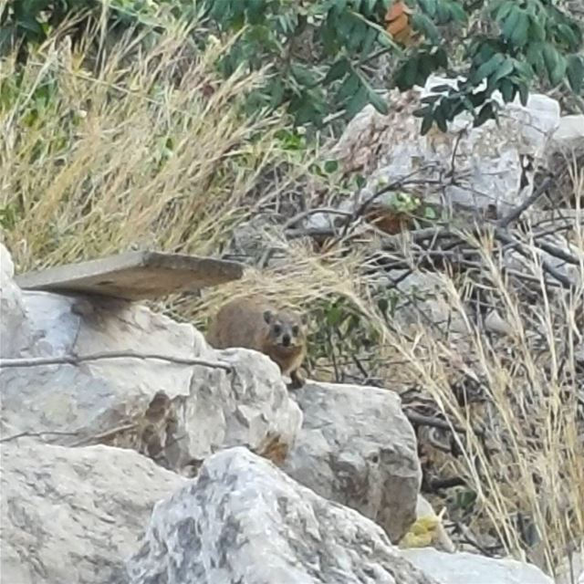 Threatened mother Hyrax spotted at Jeita country club, it was hiding 5... (Jeita Country Club)