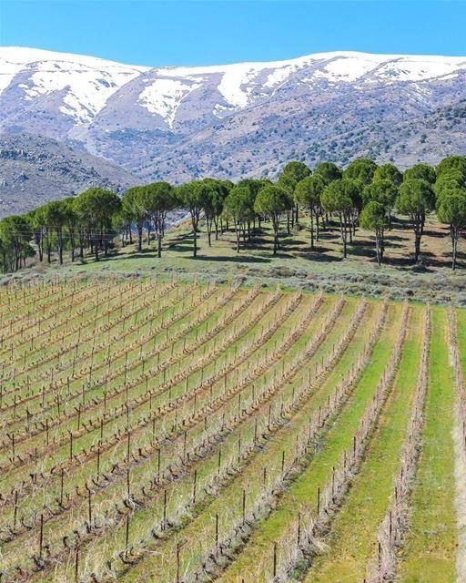 Tarde ensolarada nos belos campos de produção de vinho no Bekaa, Leste do... (Château Kefraya)