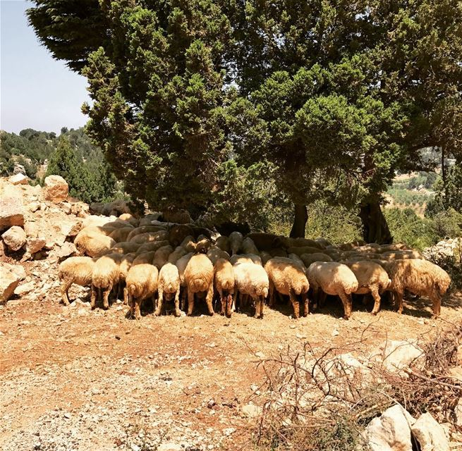 Shhttttt!!! keep calm Sheep love Sleep 🐑😴 sheep sleeping nature... (`Akkar, Liban-Nord, Lebanon)