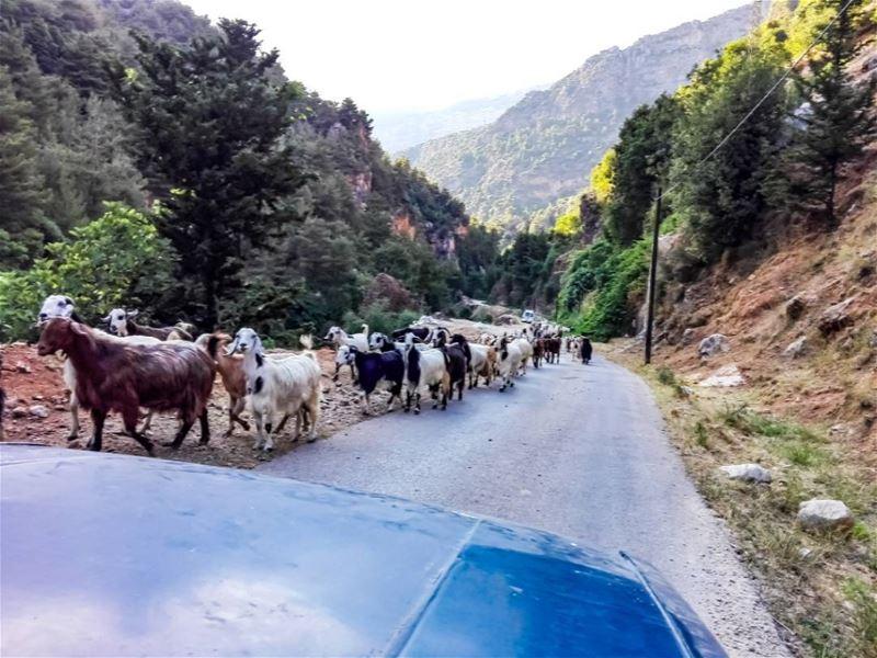 🐐🐐 @insta.lebanon.... lebanonshots lebanonnature lebanon ... (El Frâdîs, Liban-Nord, Lebanon)