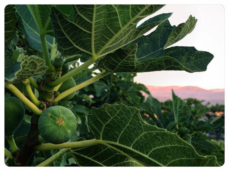 Soon to be ripe  figs  mountain  tree  figtree  arbre  ig_myshot ...