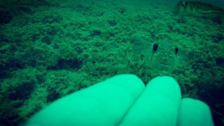 Friendly baby Puffer fish mini bite 🐟 It likes it rough 🐡 pufferfish ... (Okaibeh)