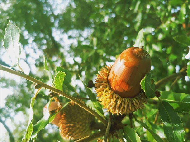 🌳 rasnhash batroun lebanon kalawounphoto oak 🌞 livelovevatroun ... (Ras Nhash- Batroun)