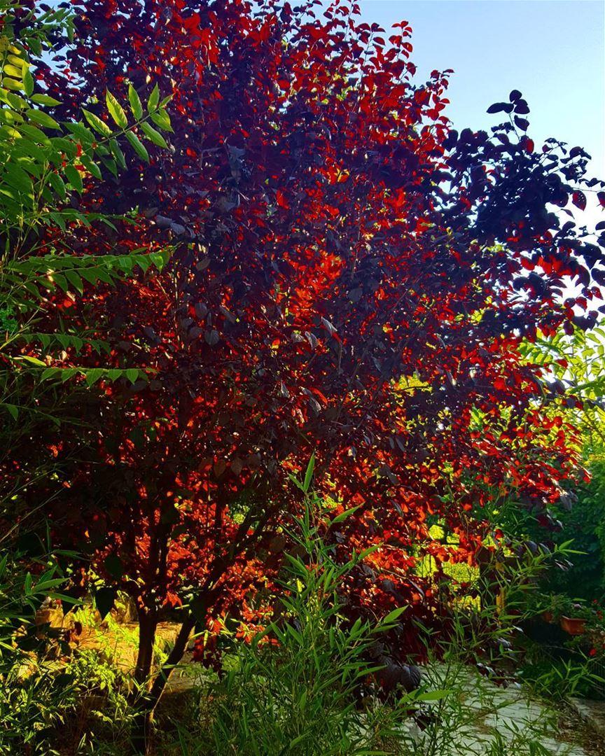 Prunes Tree Pictures