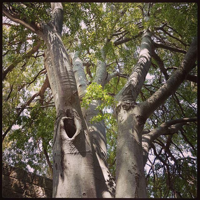 The majestic tree in baadaran's palace ! tourleb tourlebanon lebanon ... (Baadarâne, Mont-Liban, Lebanon)