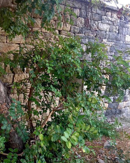abandoned oldhouse heritage stones tree green lebanonhouses ...