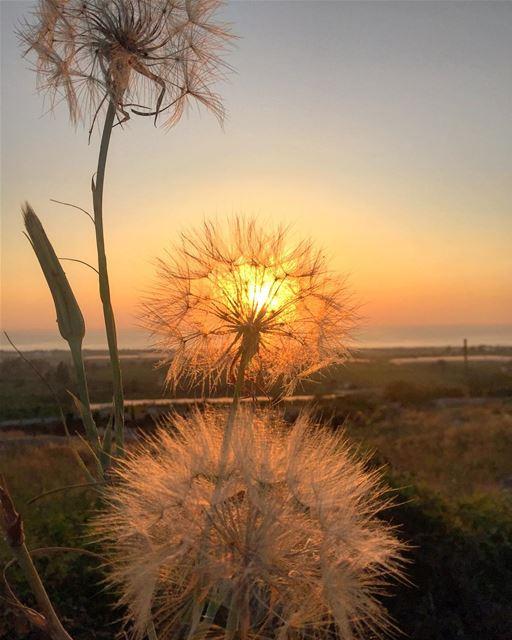 sunset cadmous dandelions tyrepage macro closeup livelovelebanon ...