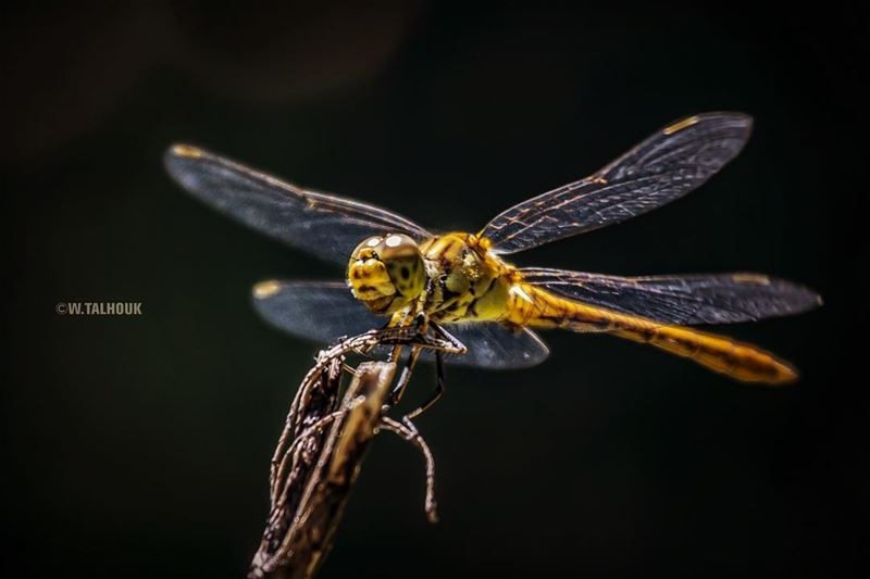 Photogenic dragonfly.. dragonfly insects flying nature mothernature ... (Ain Zhalta - Bmohray Cedars)