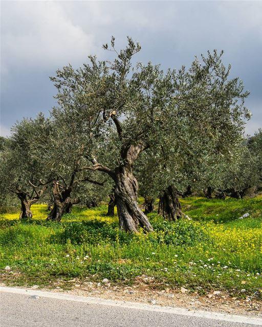 I root peculiarity.🌳🌻 ... (Bzîza, Liban-Nord, Lebanon)