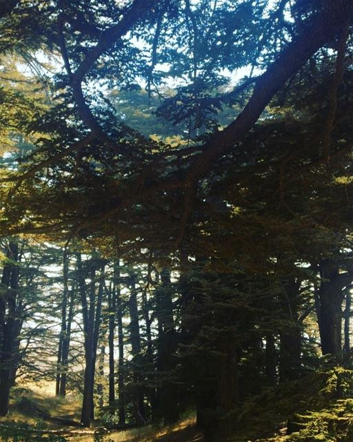 cedars arz lebanon north visit tourism friends trees nature ...