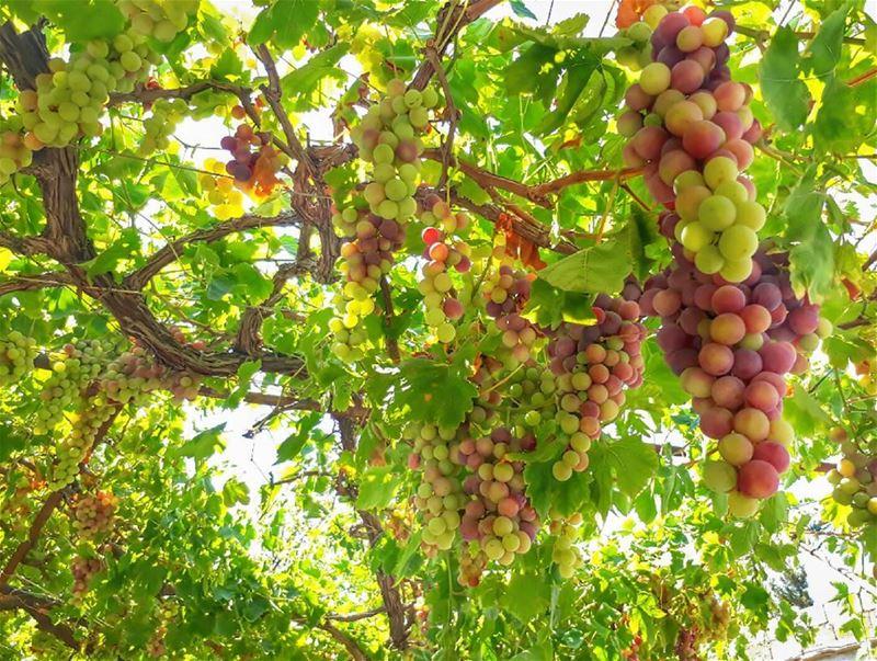 red grapes 🍇 rasnhash batroun lebanon kalawounphoto monbeauliban ... (Ra'S Nhash, Liban-Nord, Lebanon)