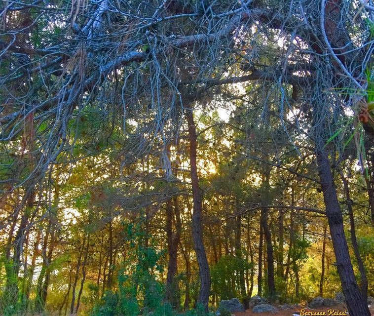 forest trees colors pinetrees sunsettime ...