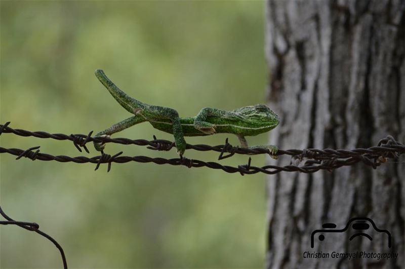 animal chameleon green_chameleon green ... (Aïn El-Kharoubé, Mont-Liban, Lebanon)