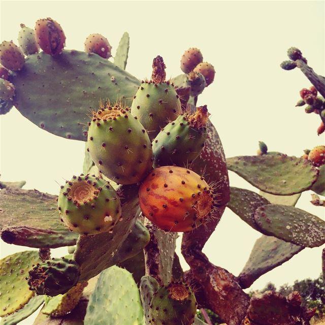 summerseason summerfruits pricklypear summer2017 lebanoninapicture ... (Kafr Mattá, Mont-Liban, Lebanon)