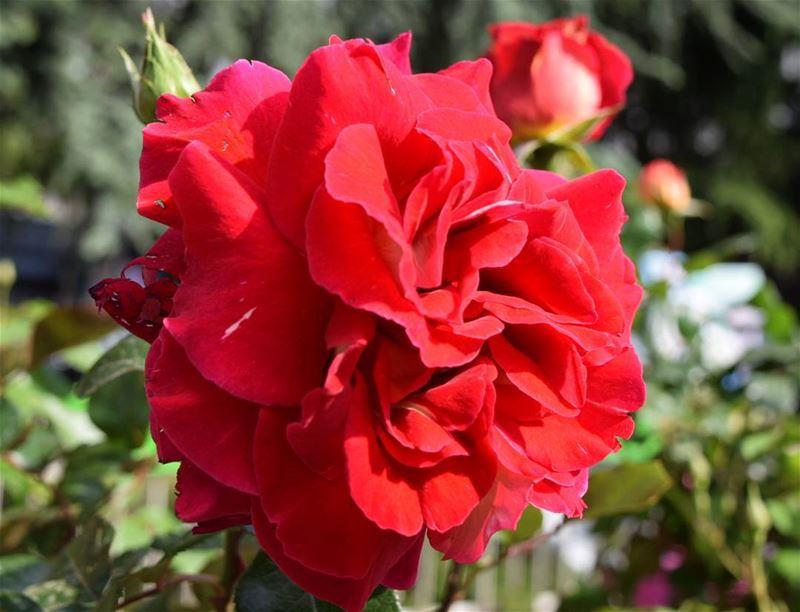good morning 🌷 ladyinred flower flowerporn ...