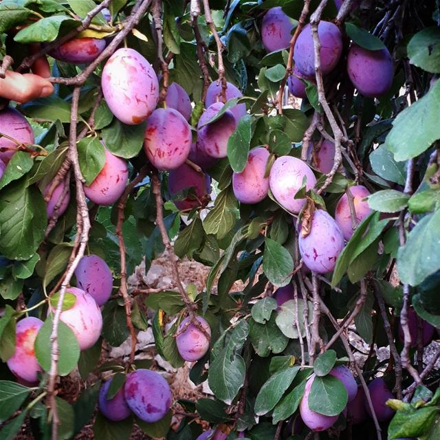 plum tree 🍇🌳 purplelove color garden village livelovezeaitre ... (Zaitreh - Nahr Ibrahim)