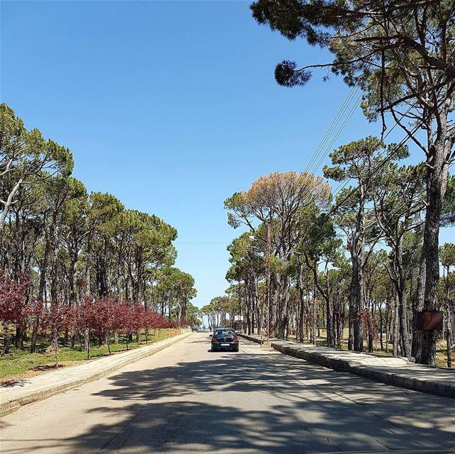 Bolonia Meruj. lebanon bolonia tree pictureoftheday pin road nature... (Bolonia Meruj)