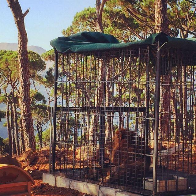 Lion King 🦁👑 livelovelebanon livelovebeirut livelovebolognia ... (Bois De-Boulogne, Mont-Liban, Lebanon)