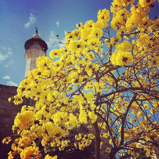 Beirut in bloom; The trees of the Emir Mansour Assaf Mosque are finally in full bloom for about 10 days | every year since @raniaauxpaysdesmerveilles have moved back they made her LiveLoveBeirut all over again 💛 (Beirut, Lebanon)