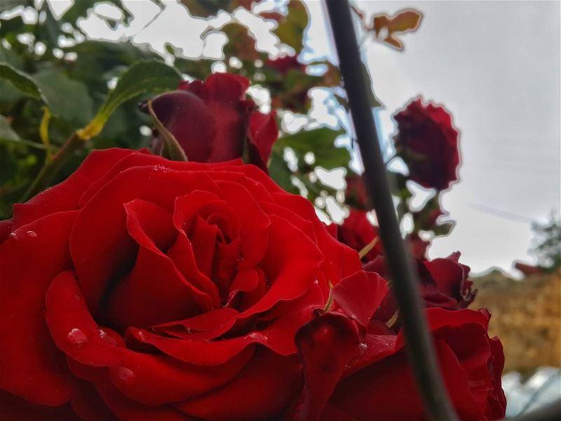 وردة واحدة لانسان على قيد الحياة أفضل من باقة كاملة على قبره.. 👌 📷 🍃 🌳...