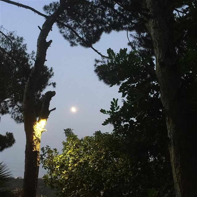 summernights moon moonlight trees nature pinetrees wanderlust ...