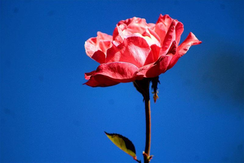 """C'est le temps que tu as perdu pour ta rose qui fait ta rose si... (Foyer Champagnat - Faraya)"