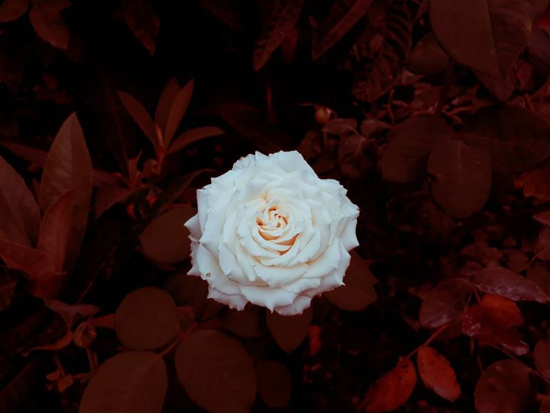 flower rasnhash batroun lebanon kalawounphoto 🌹 insta_lebanon ... (Ra'S Nhash, Liban-Nord, Lebanon)