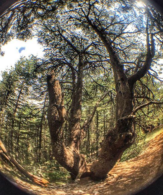 Centuries of stories in this tree tree trees cedar cedarforest ... (Bâroûk, Mont-Liban, Lebanon)