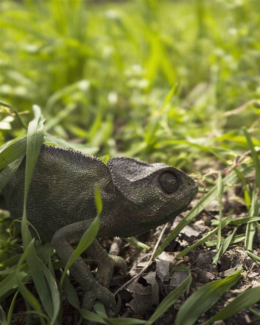 A Mediterranean chameleon that appeared in the orchard. We were clearing... (Lebanon)