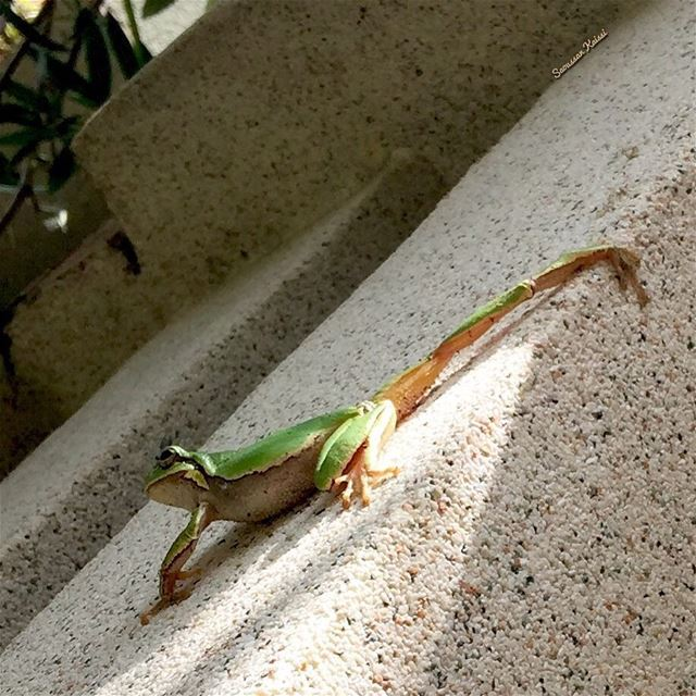 today  frog  green  visitor ...