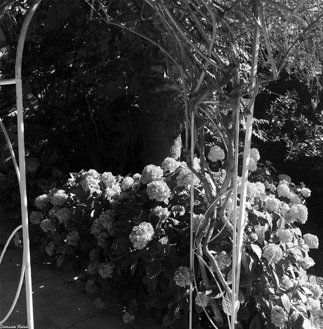 blackandwhite monochrome nostalgia mygarden flowers ...