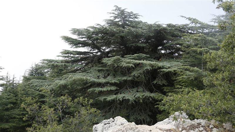 Eternal Cedar... cedar tree nature barouk shouf biosphere reserve ... (Arz el Bâroûk)