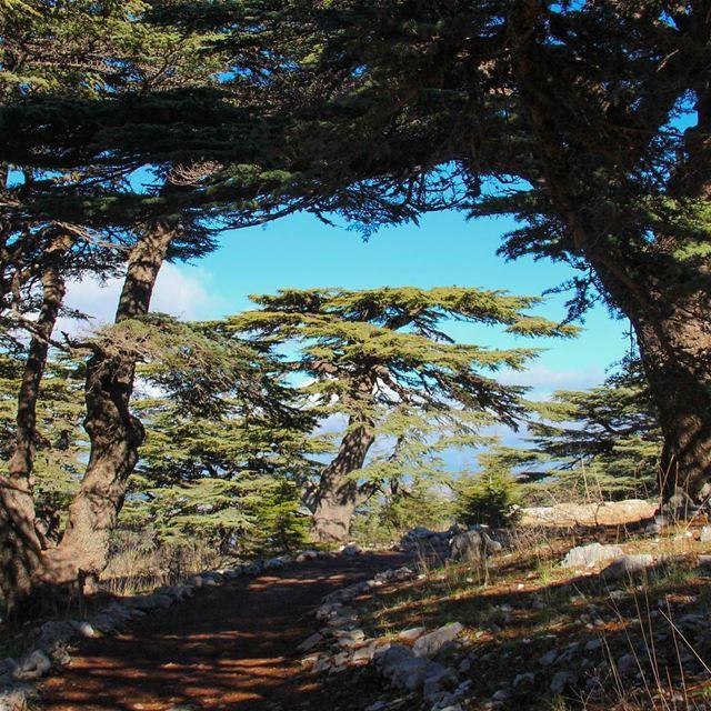 🌲 صباح الأرزة والجيش اللبناني 🇱🇧 (Al Shouf Cedar Nature Reserve)