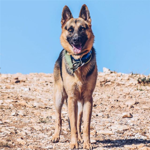 For all  dog lovers Here is  germanshepherd  pics  collection pkshotz...