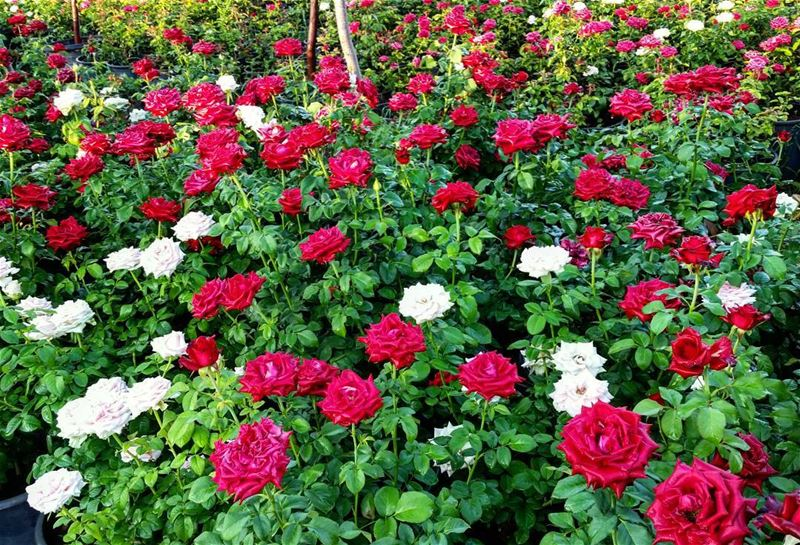 It is a Rose Morning 😍🌷 gm goodmorning morning roses rose flowers love...