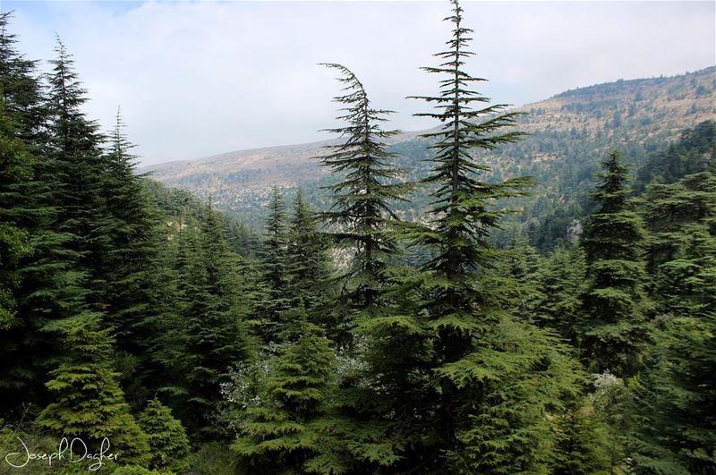 🌲Ehden Natural Reserve... (Horsh Ehden)
