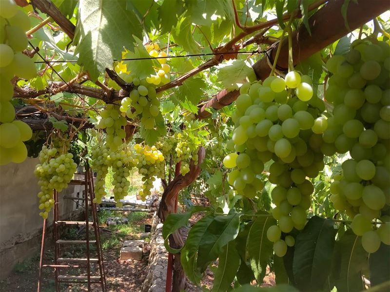 Pick some  grapes  leaves  harvest  nature  natureonly  eye_for_earth ...