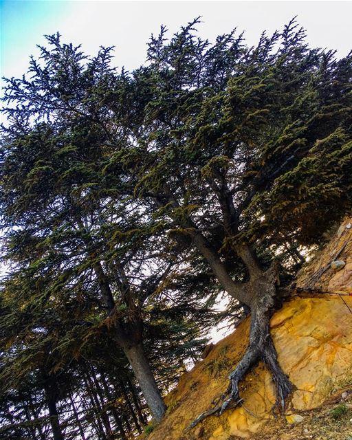 Never give up... like a Cedar tree 🌲 livelovebeirut livelovelebanon ... (Lebanon)