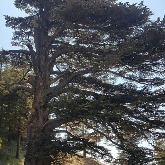 Cedars of God...
