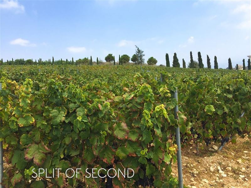 This is Lebanon 🇱🇧 ... picoftheday capture momentcam lebanon ixir... (Ixir Winery)