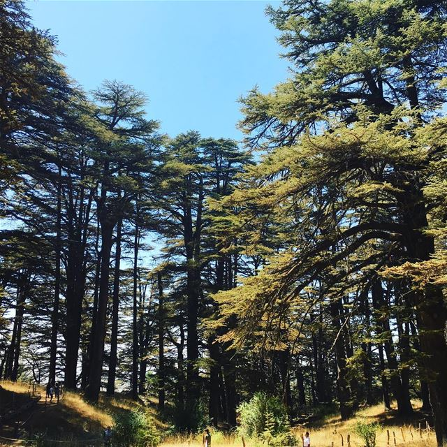 Walking through the Cedars of Lebanon forest Lebanon lebanoninapicture ... (Cedars of God)
