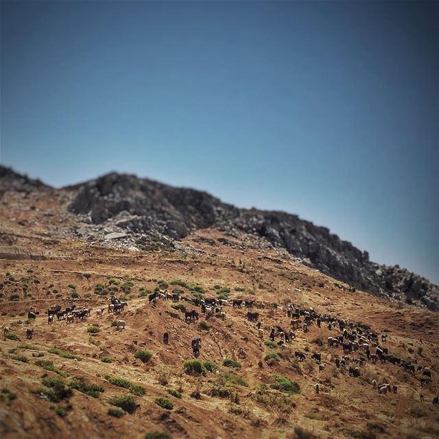 Too many goats 🐐 LiveLoveLebanon wearelebanon lebanonbyalocal ... (Falougha, Mont-Liban, Lebanon)