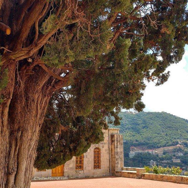 Under the shadow of a majestic tree. It looks like a juniper but am not... (Al Mukhtarah, Mont-Liban, Lebanon)