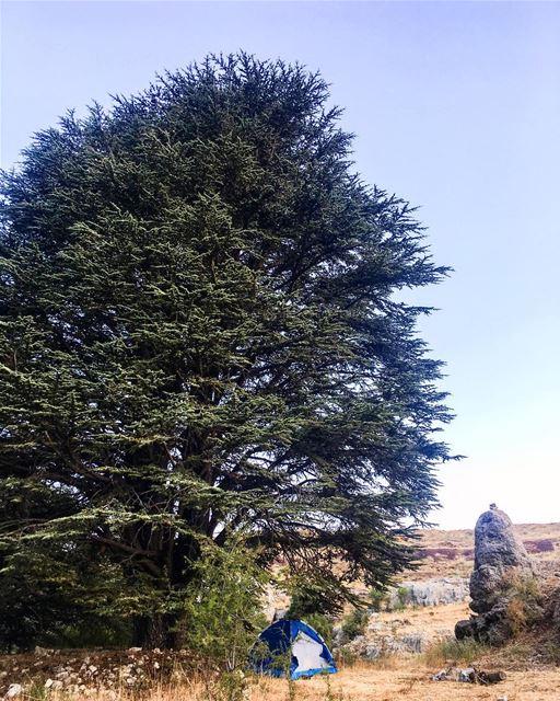 """Don't worry human, you are in good hands"" said the Cedar tree 🌲 ... (Arz Tannoûrîne)"