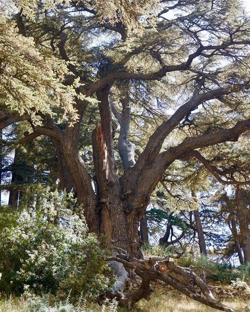 🇱🇧 Cedro de 3 mil anos fotografado pela @recalil durante sua viagem ao Lí (Cedars of God)